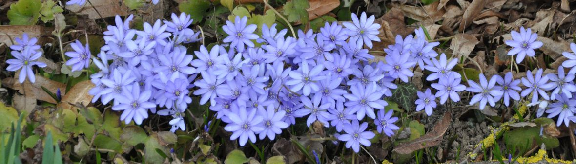Introbild Hepatica