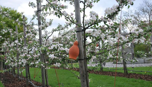 A range of apple varieties in a spindle planting system for the garden and allotment