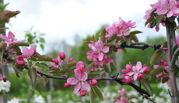 Apple blossom in the fruit spindle planting system in the Weihenstephan Allotment Garden for fruit