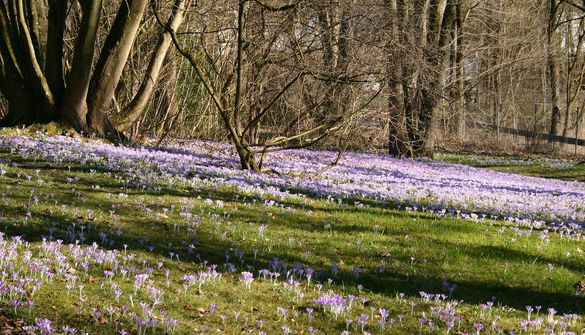 Trial Garden Weihenstephan | Crocus tommasinianus growing under the trees and on the edge of the copse