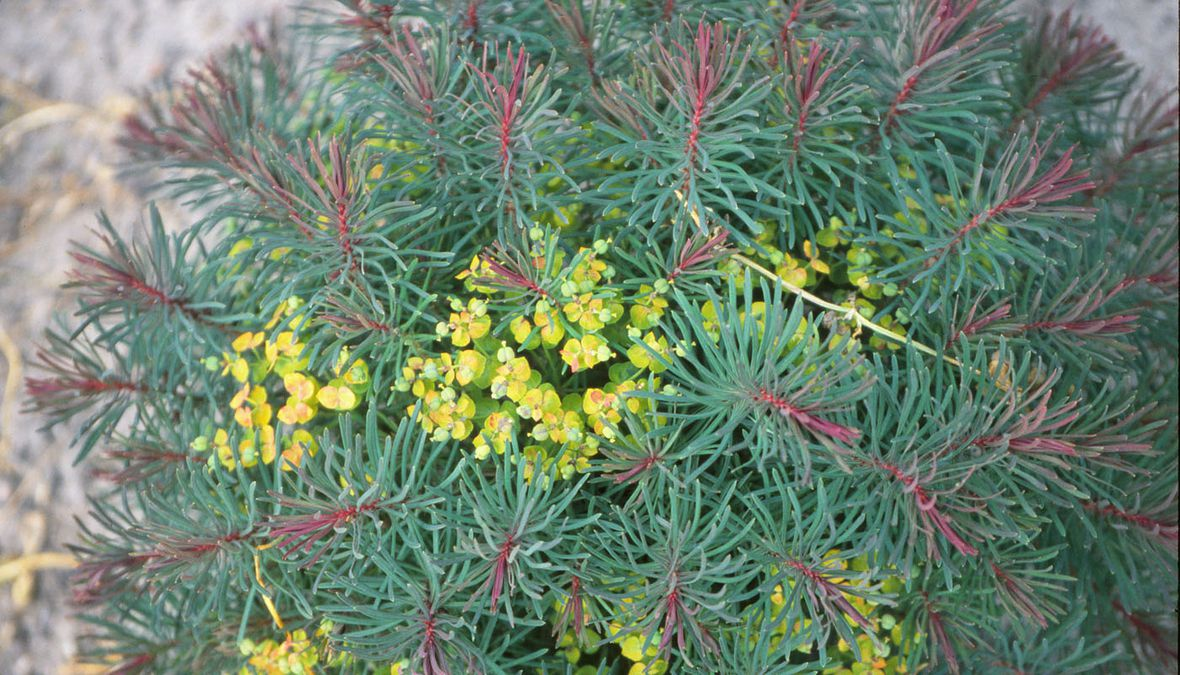 Abb. 13: E. cyparissias 'Fens Ruby'
